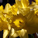 Daffodils on the table #2