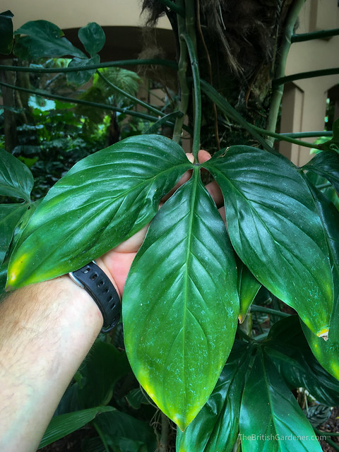 Philodendron anisotomum