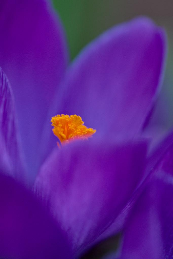 Purple Crocus