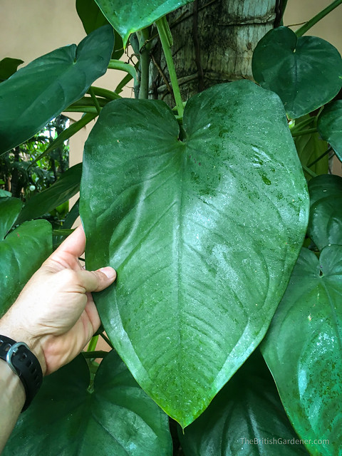 Philodendron scandens ssp oxycardium