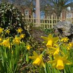 Daffodils in Avenham Park in Preston