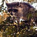 Flickr photo 'Real Raccoon of Manatee Springs State Park' by: Phil's 1stPix.
