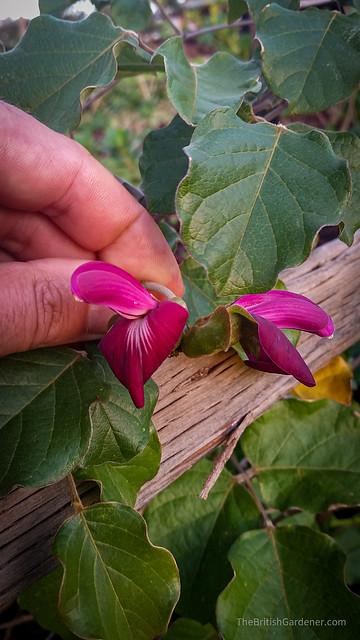 Canavalia hawaiiensis