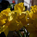 Daffodils on the table #1