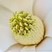 Magnolia (I), 6.19.17