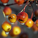 Branch with apples of paradise. Selective focus on apples with drops of rain in blurred background. Close up
