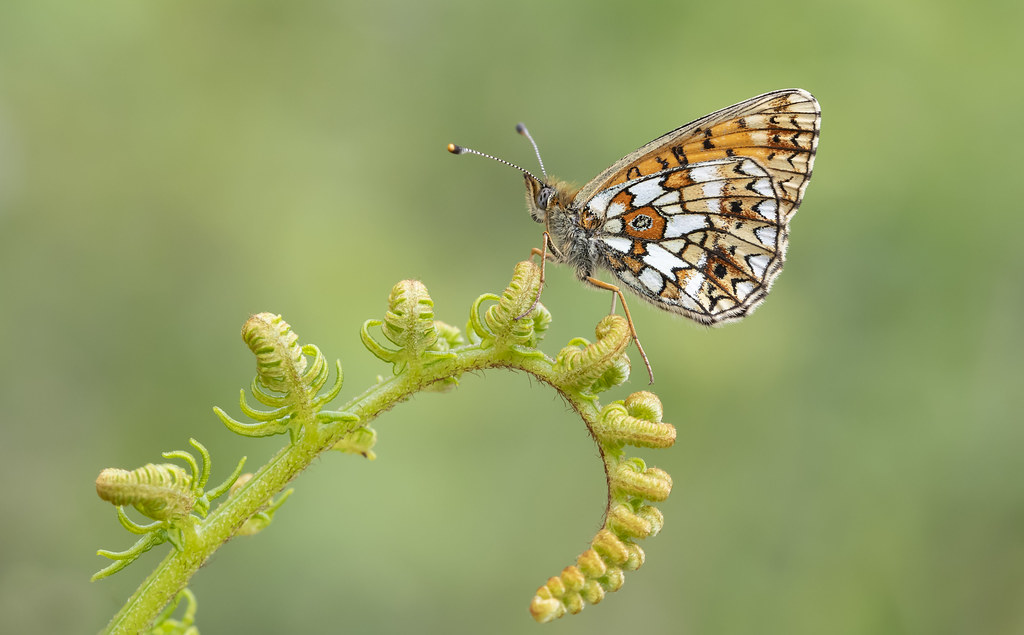 Small Pearl-bordered Fritillary (Boloria selene).