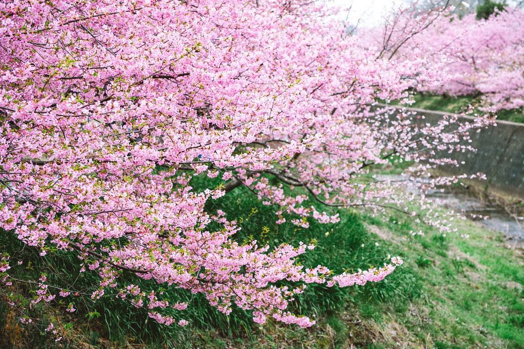 賀茂川 河津桜
