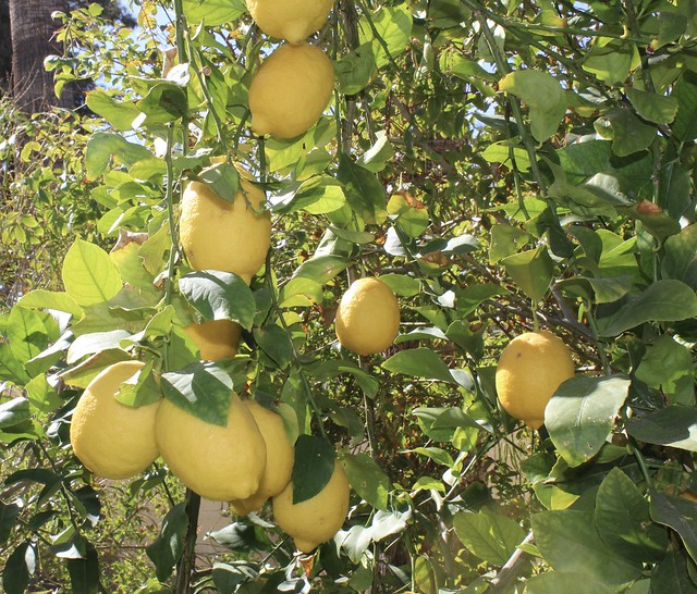 Lotsa lemons