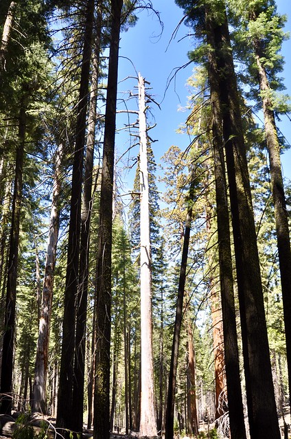 Sequoia National Park - one dead but still reaching for the sky