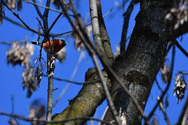 Bullfinch ♂️ (Pyrrhula pyrrhula)