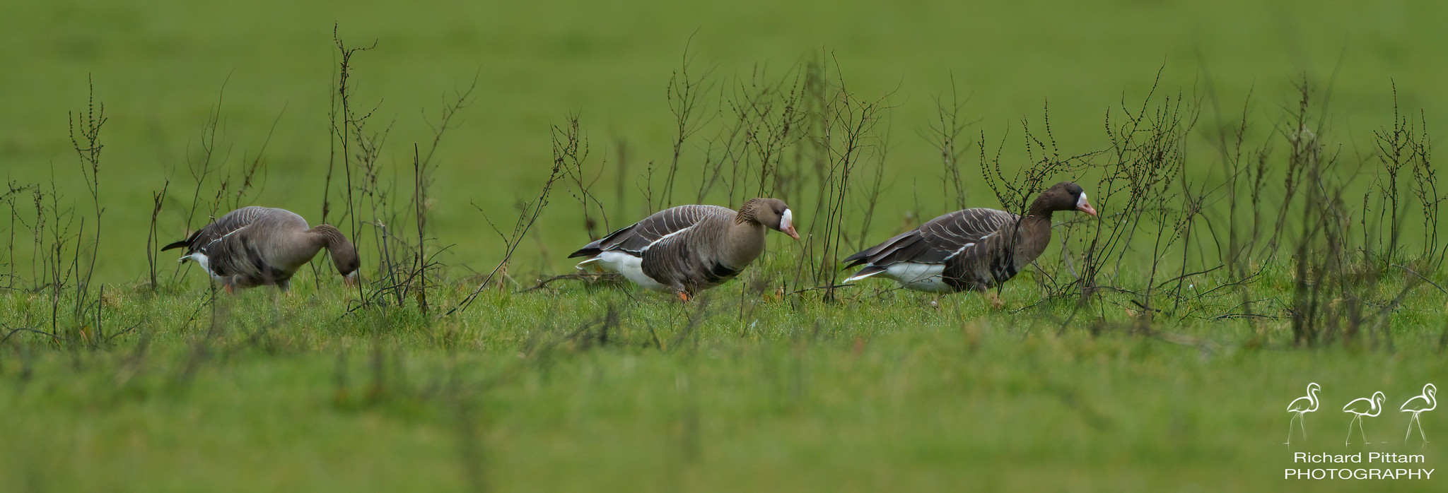 Russian White-fronted Geese