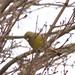 Greenfinch (Chloris chloris)