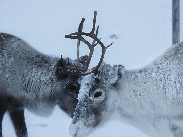 Renos en la nieve (Laponia Sueca)