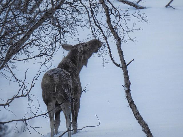 Alce en Abisko (Laponia Sueca)
