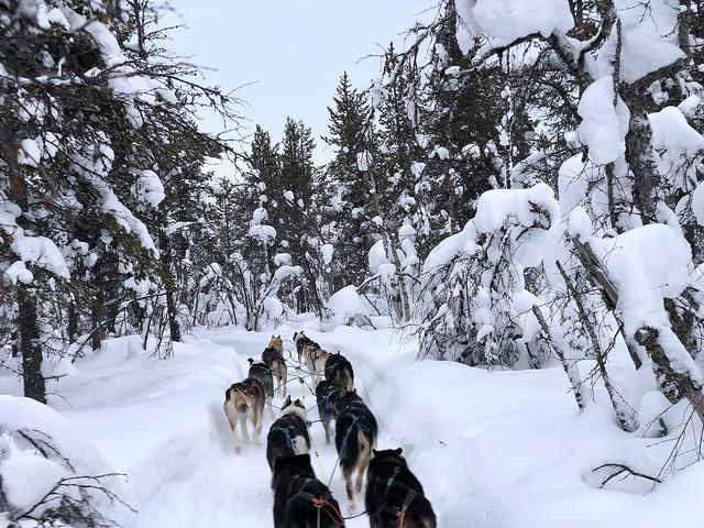 Trineo de perros en Laponia Sueca, una de las actividades invernales con más éxito en la región