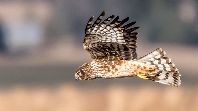 Female Northern Harrier Hawk Catches the LIght