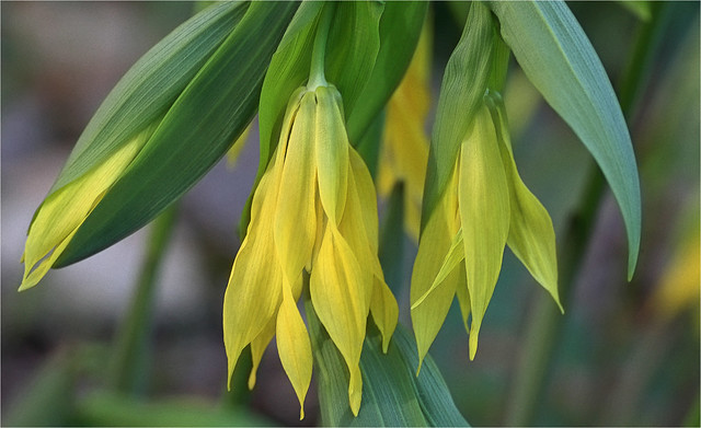 Uvularia Grandiflora
