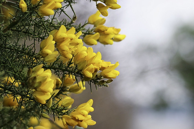 Golden gorse and Fly