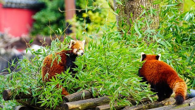 9492 - Panda Roux