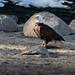 bald_eagle_20210308_161