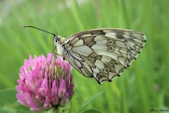 Butterfly 2078 (Melanargia galathea)
