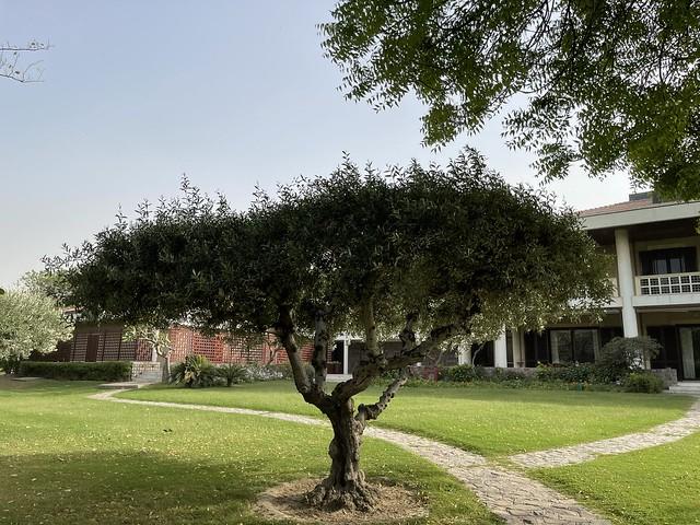 City Nature - Olive Trees, Italian Embassy