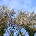 White Spring blossom in Ashton-on-Ribble, Preston