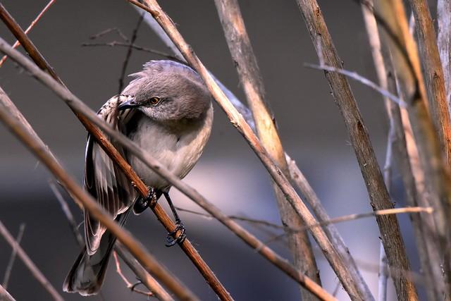 Northern Mockingbird DSC_0768