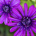 Two Purple Osteospermum Flowers, 6.16.17