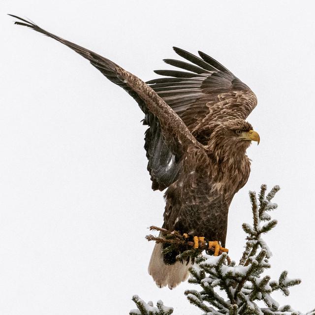 Golden eagle posing