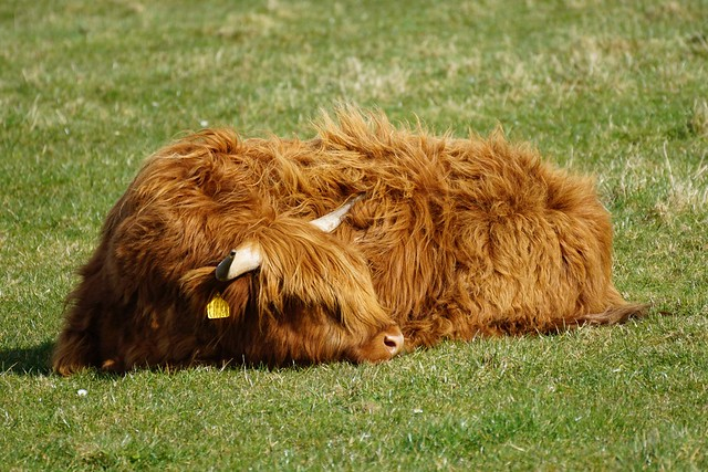 Highland Calf enjoying the sunshine.