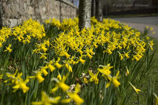 Daffodil Verges