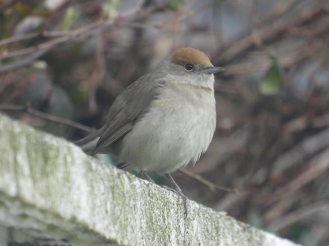 Female Blackcap in the garden