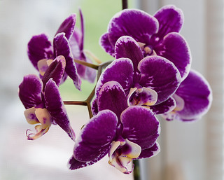 Orchid 3 | by Whidbey LVR