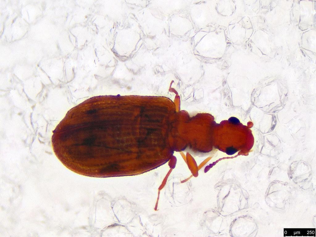 1a - Coleoptera sp.