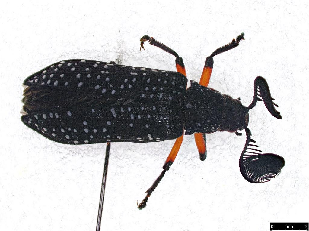 2a - Rhipicera femorata Kirby, 1818