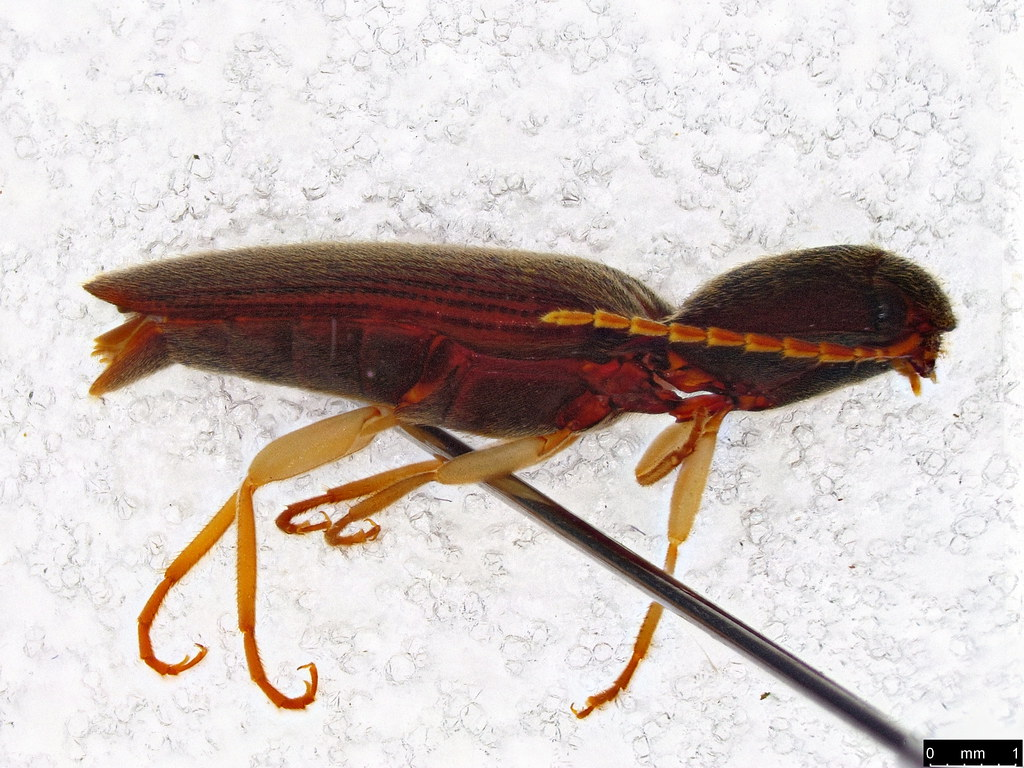 3b - Elateridae sp.