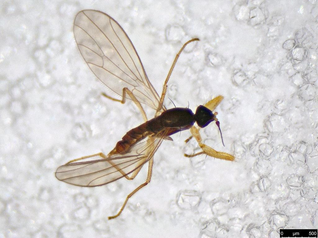 5b - Empididae sp.