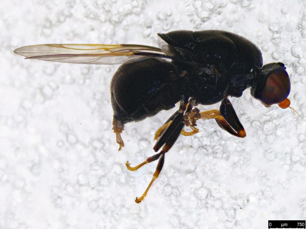 6a - Diptera sp.