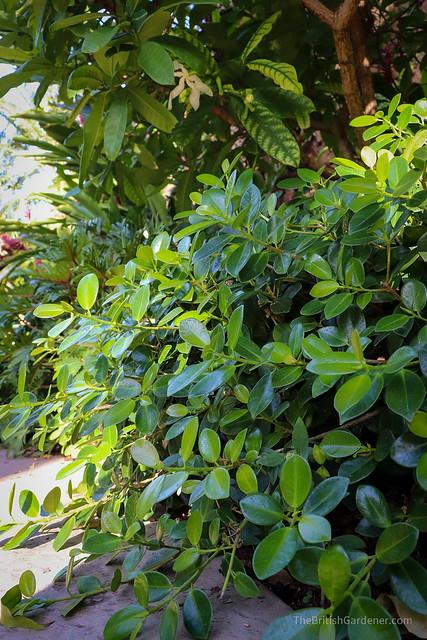 Ficus microcarpa var. crassifolia