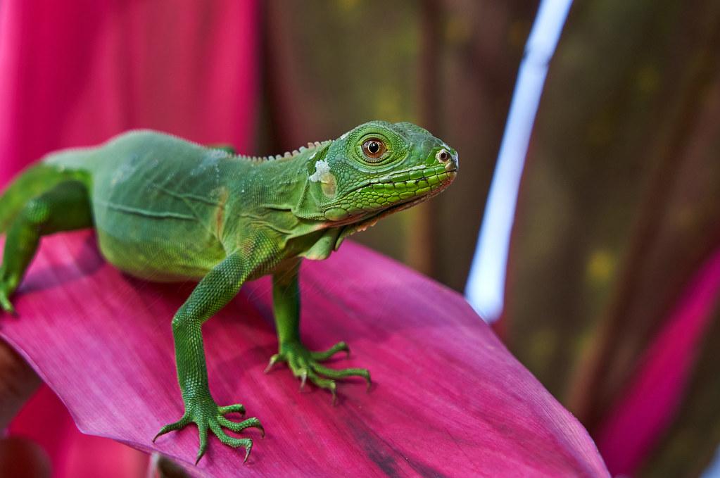Juvenil iguane commun