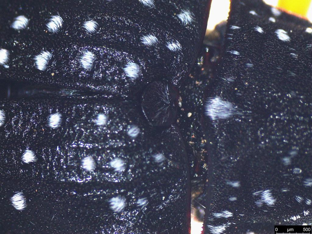 2b - Rhipicera femorata Kirby, 1818