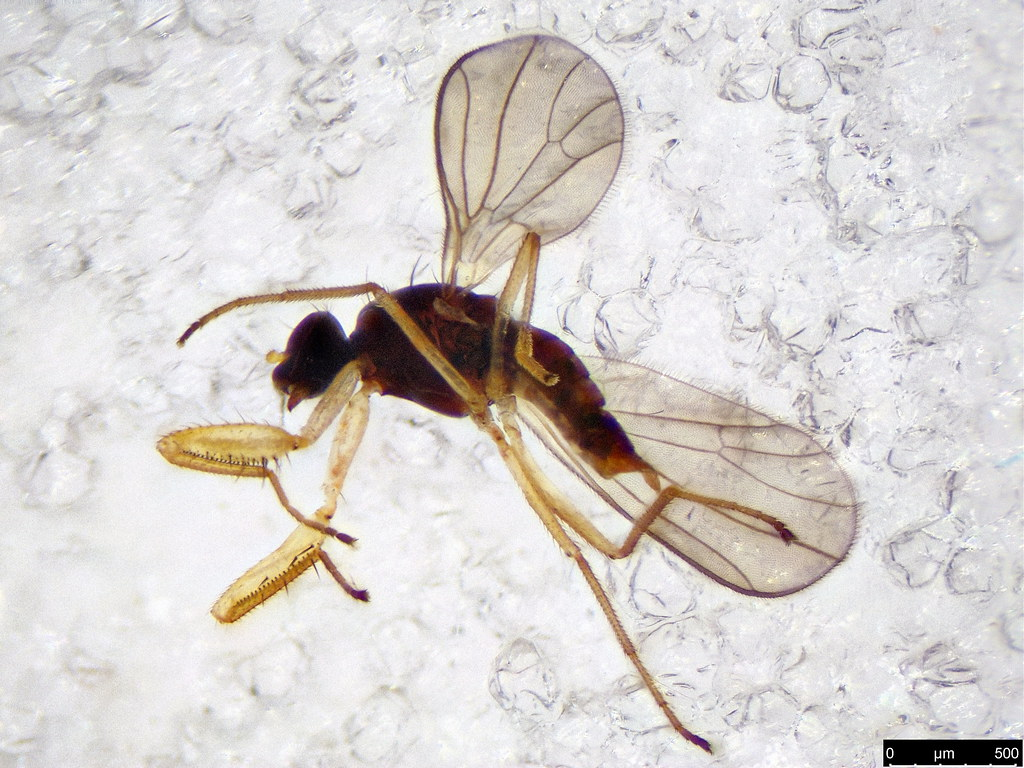 5a - Empididae sp.
