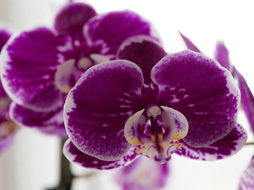Orchid 1 | by Whidbey LVR