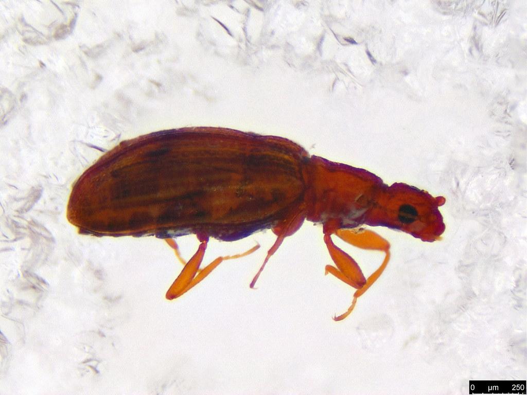 1b - Coleoptera sp.