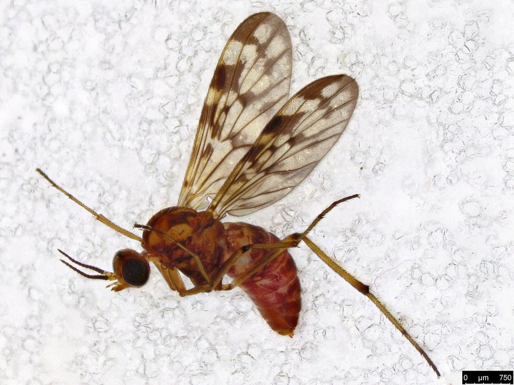 4 - Sylvicola dubius (Macquart, 1850)