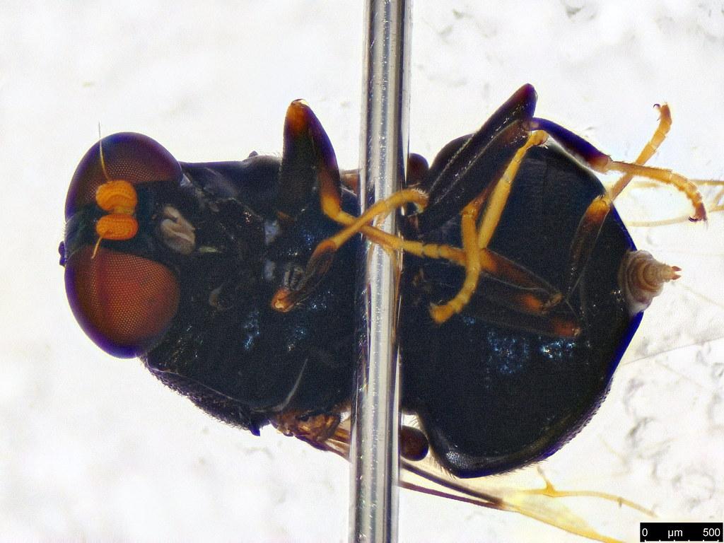6d - Diptera sp.