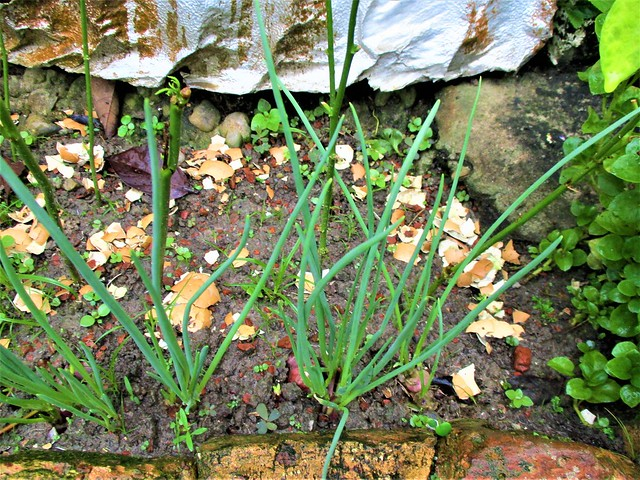 Own-grown spring onions