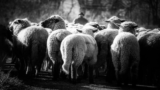 Shepherd and the flock is follow him